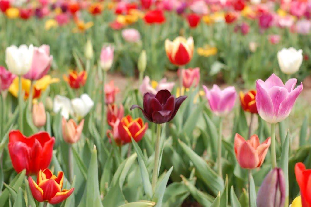 Tulip Farm Photo Diary